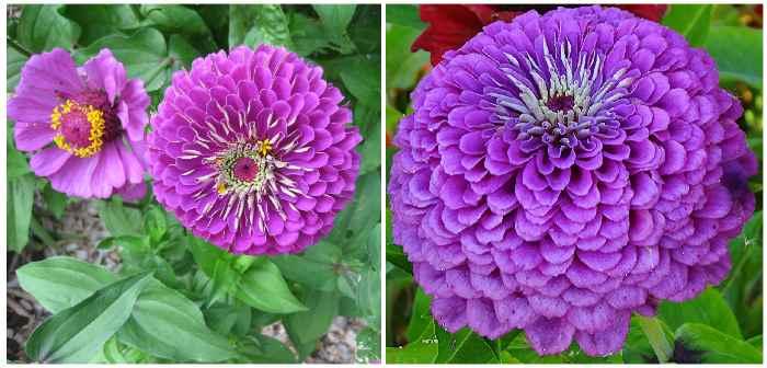 «Виолет» (Violett)