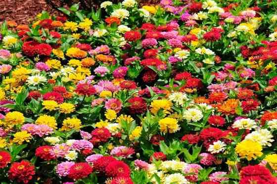 Цветущая циния