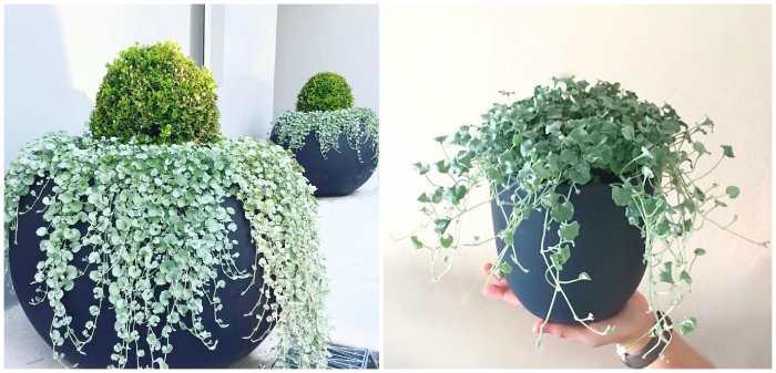 Дихондра серебристая в декоративном вазоне