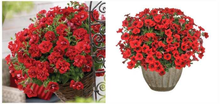 Сурфиния Дабл Рэд (Double Red) и Табл Рэд (Table Red)
