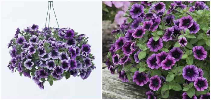 Сурфиния Парпл (S. Purple)