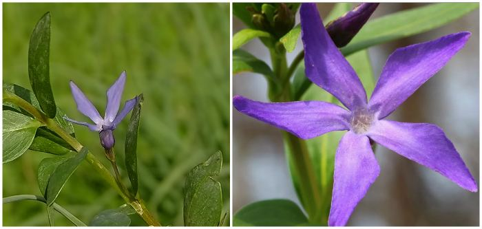 Барвинок Травянистый (Vinca herbacea)