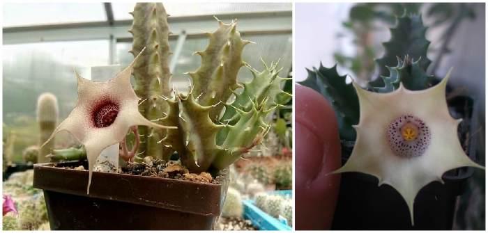 Huernia quinta var. blyderiverensis