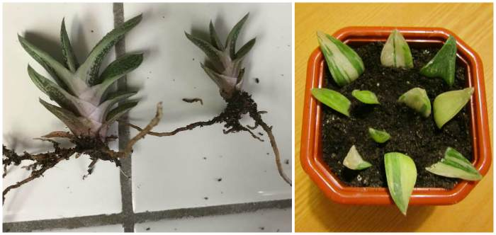 Размножение дочерними розетками и листом