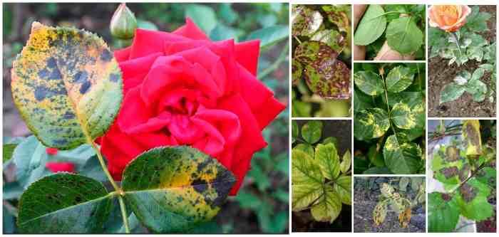 Пятнистость роз