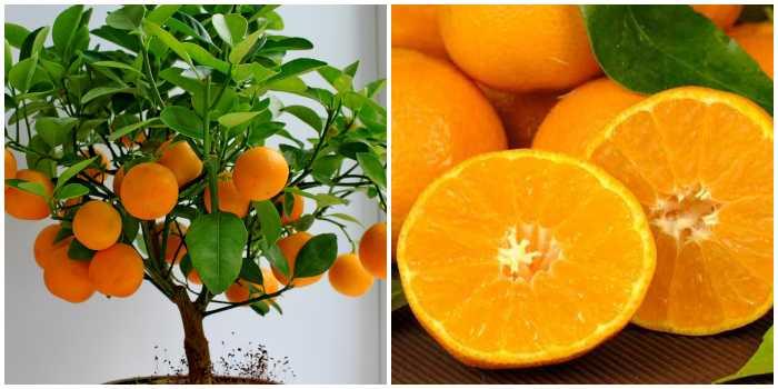 Мини-апельсин