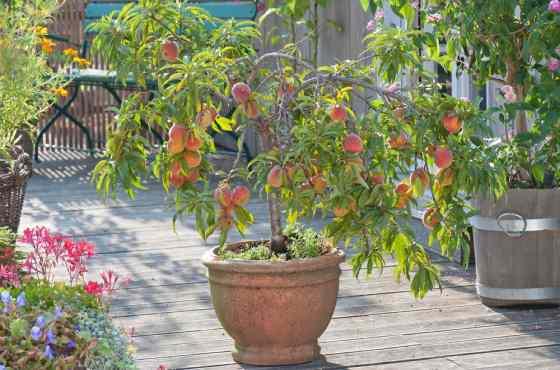 Персик в горшке