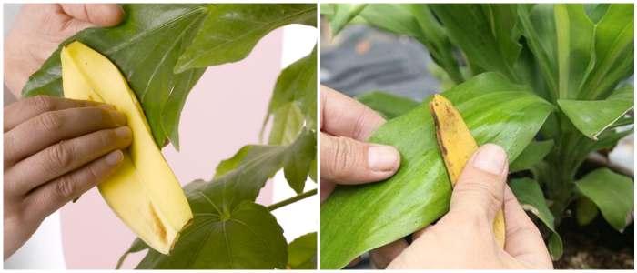 Очистка листьев банановой шкуркой