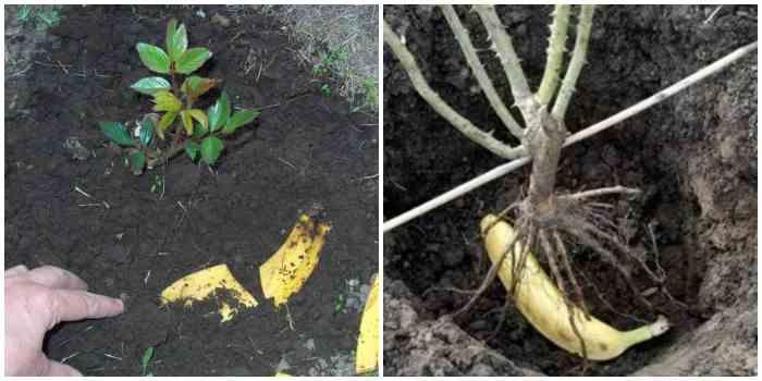 Удобрение из бананов для роз